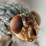 Detalle de la cabeza de una mosca común.