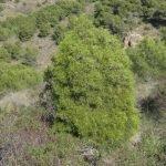 El ciprés cartagenero es una especie autóctona habitual en el Parque de Calblanque y Monte de las Cenizas con ayudas europeas para su preservación