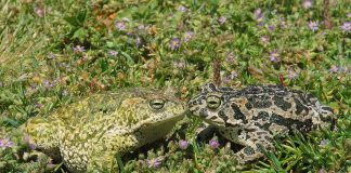El sapo corredor es una especie protegida endémica en Calblanque