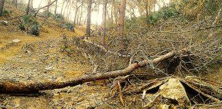 Numerosa masa forestal del Monte de Las Cenizas se encuentra afectada por la plaga del perforador y el barrenillo sin que se hayan tomado aún medidas para combatirlo