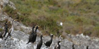 Grupo de adultos y juveniles de cormorán moñudo (Phalacrocórax aristotelis) en Isla Grosa