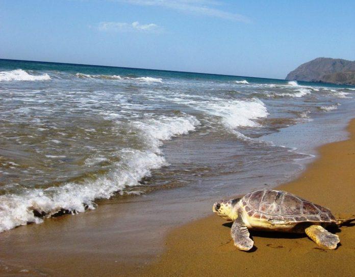 Imagen de una suelta de tortuga boba en Calblanque. Imagen de archivo