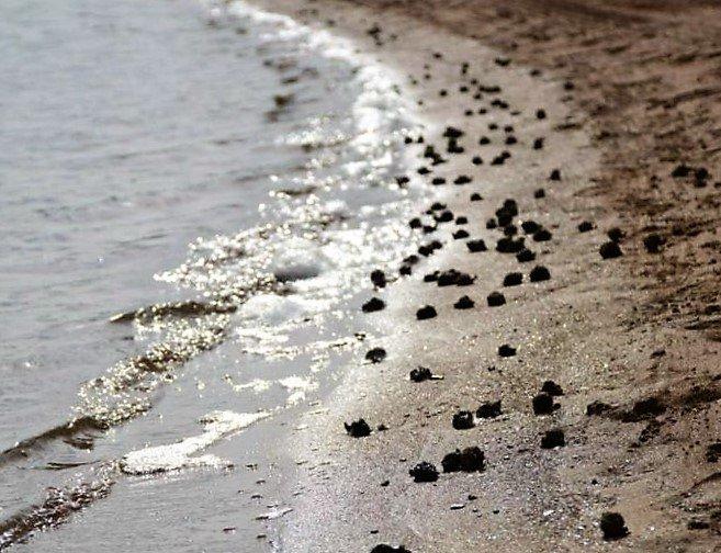 Los ecologistas han denunciado la falta de oxígeno que provoca la huida masiva de caracolas a la orilla