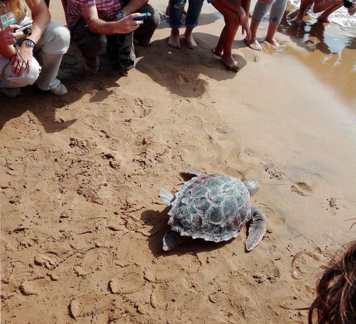 Imagen de una de las tres tortugas boba liberadas en Calblanque este fin de semana.